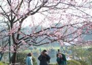 3月9日,2018武漢東湖櫻花節在武漢東湖櫻園開幕。 (新華社)