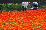 3月13日,靜安雕塑公園內櫻花、鬱金香等花卉盛開。(中新社)