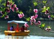 3月12日,福州西湖公園內桃花爭相開放,美不勝收。(中新社)