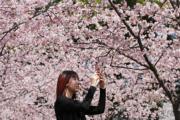 3月13日,靜安雕塑公園內櫻花盛開,吸引了不少遊客踏春賞花 。(中新社)