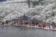 3月12日,重慶市北碚區澄江鎮上馬臺村的李花迎來盛花期。 (新華社)