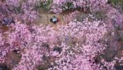 3月12日,昆明市區圓通山內櫻花怒放。(中新社)