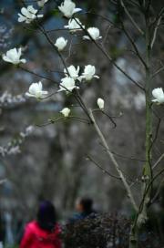 3月13日 ,湖北省西部山區的恩施土家族苗族自治州宣恩縣百花綻放。 (新華社)