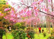 3月8日,一年一度的上海櫻花節即將於3月16日至4月15日在上海顧村公園舉行。(新華社)