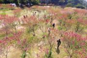 3月12日,福州鳥瞰桃花園的桃花競相綻放,吸引遊客前來踏青賞花。(中新社)
