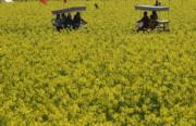 3月10日,福建省龍岩市上杭古田會議舊址前的油菜花競相綻放。(中新社)