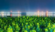 3月10日,盛開的油菜花與三峽夜景構成一幅美麗的圖畫。(新華社)