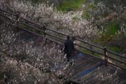 3月10日,浙江省湖州市吳興區妙西鎮的瀛洲梅園梅花盛開,呈現出「香雪海」的迷人景致。(新華社)