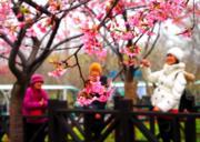 3月8日,上海櫻花節於3月16日至4月15日在上海顧村公園舉行。 (新華社)