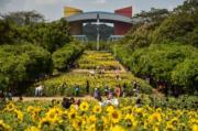 3月12日,位於深圳市民中心南廣場約3000平方米的向日葵花園,吸引遊客前來遊玩。(新華社)