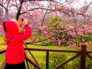 上海櫻花節於3月16日至4月15日在上海顧村公園舉行。(新華社)