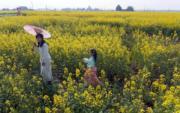 3月11日,在成都邛崍市冉義鎮,金黃的油菜花、雪白的李花、綠油油的麥地與民居、道路、河流等形成一幅幅甜美的鄉村畫卷。(新華社)