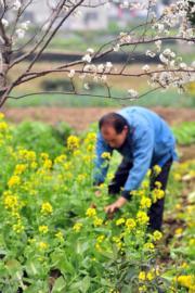 3月11日,湖北省秭歸縣陳家壩村的村民在山花盛開的田間工作。(新華社)