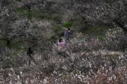 3月10日,江省湖州市吳興區妙西鎮的瀛洲梅園梅花盛開,呈現出「香雪海」的迷人景致。 (新華社)