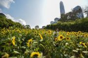 3月12日,遊客在深圳市民中心南廣場的向日葵花園遊玩。 (新華社)