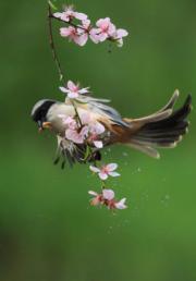 3月14日,在湖南省衡陽市,一隻小鳥在春日花枝間飛舞覓食。(新華社)