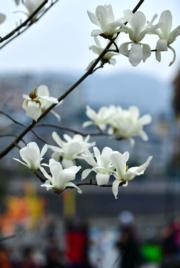 3月13日在湖北省宣恩縣貢水河畔拍攝的綻放的花朵。(新華社)