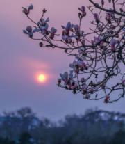 月21日,北京多處的玉蘭花開始綻放,展現出一派美麗、祥和的春季景象。(新華社)
