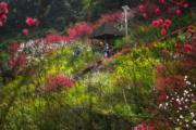 3月14日,重慶南山桃花園內的桃花和油菜花盛開,遠遠望去好似一幅美麗的油畫。(中新社)
