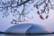3月21日,北京國家大劇院前盛開的玉蘭花。(新華社)