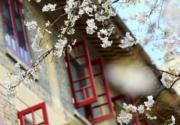3月15日,武漢大學櫻花綻放,校園花香四溢。 (新華社)