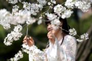 3月15日,一位女孩穿上漢服在西安青龍寺櫻花樹前拍照。(中新社)