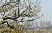 3月22日,雲南昆明呈貢萬溪衝的梨花盛開。(中新社)