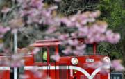 3月15日,台灣阿里山漫山遍野的櫻花開始盛開,遊客乘坐的小火車穿梭在花海中。(新華社)