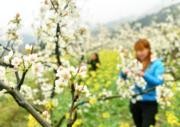3月19日,在湖南省邵陽市城步苗族自治縣儒林鎮,農民在為梨樹疏花。(新華社)