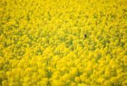3月21日,在湖南省沅陵縣荔溪鄉幸福村,一隻小鳥在油菜花田裏休憩。(新華社)
