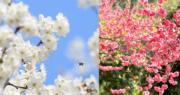 中國不少地方的花開始進入盛開期。(新華社)