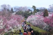 3月4日,南京梅花山進入最佳觀賞期,吸引不少遊客前來踏青賞梅。(新華社)