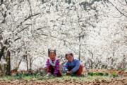 3月3日,貴州省威寧縣龍街鎮的櫻桃園內花兒綻放。(新華社)