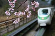 3月3日,湖南張家界武陵源風景區野生櫻花相繼盛開。(新華社)