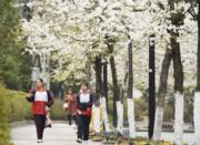3月4日,貴州省銅仁市松桃苗族自治縣公園路的櫻花綻放。(新華社)