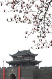 3月3日,江蘇蘇州環古城河畔玉蘭花開放。(新華社)