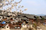 2月25日,在貴州省丹寨縣南皋鄉石橋村大簸箕苗寨吊腳樓前的梨花開花。(新華社)