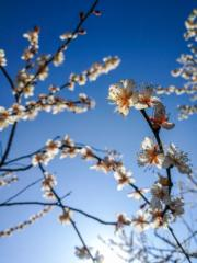 2月23日,浙江省杭州市餘杭區超山景區盛開的梅花。(新華社)