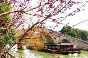 2月23日,古城蘇州的迎春花、梅花等綻放。(新華社)