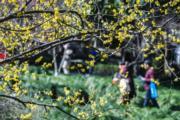 2月23日,遊客在浙江省杭州市餘杭區超山景區內賞花。(新華社)