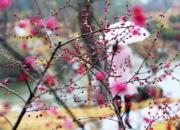 2月19日,遊客在江蘇南通園藝博覽園賞梅。(新華社)