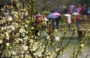 2月19日,遊客撐傘在江蘇蘇州拙政園內賞花。(新華社)
