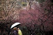 2月19日,遊客在江蘇省常州市紅梅公園觀賞雨中綻放的梅花。(新華社)