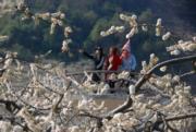 2月5日,遊客在廣西賀州市一片李花叢中賞花。(新華社)