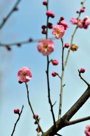 2月4日,湖北省保康縣清溪河景觀公園的梅花(新華社)