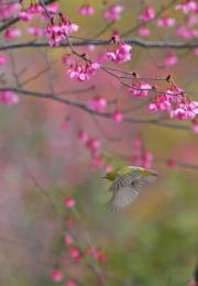 2月4日,江西贛州五龍客家風情園,鳥兒在花間飛舞。(新華社)