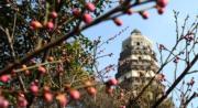 2月4日,蘇州虎丘山景區內的梅花與古塔相映成景。(新華社)