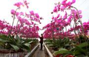 2月4日,山東省的蝴蝶蘭(新華社)