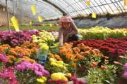 2月4日,河南省的花農正在溫室內整理花卉。(新華社)