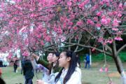 2月4日,廣西南寧市民賞櫻花。(中新社)